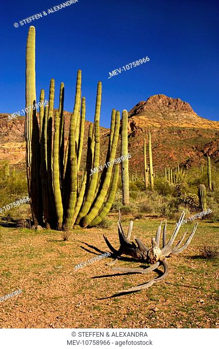 Sonora Desert - sonoran desert plant community in spring with Saguaro Cacti and the Ajo Mountains as backdrop. A Giant Organ Pipe Cactus (Stenocereus thurberi)...