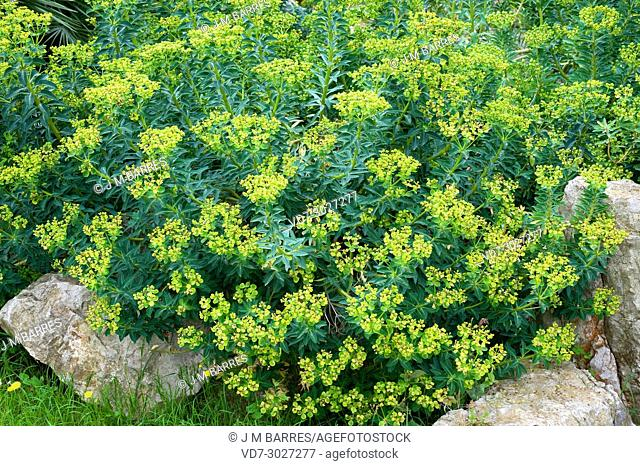 Spurge of Ses Margalides Islet (Euphorbia margalidiana) is a critically endangered shrub endemic to Ses Margalides Islet next to Eivissa (Ibiza)
