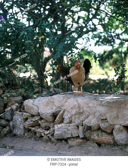Rooster on stone wall