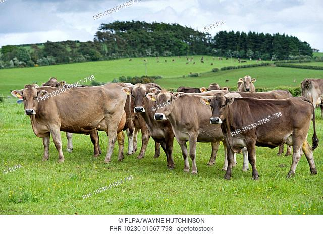 Domestic Cattle, Brown Swiss dairy cows, herd standing in pasture, Dumfries, Dumfries and Galloway, Scotland, June