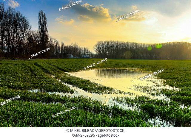 Poplar grove and grassland near Ega river. Murieta, Navarre. Spain, Europe