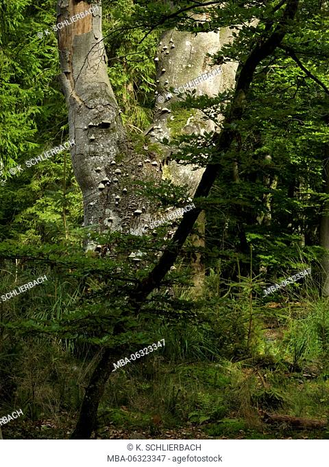 Germany, Mecklenburg-Western Pomerania, Western Pomerania Lagoon Area National Park, Darss Forest, centuries-old knobby and crooked beech with Polypore