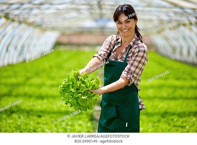 Farmer, harvesting lettuces, Greenhouse, Agricultural field, Villafranca, Navarre, Spain