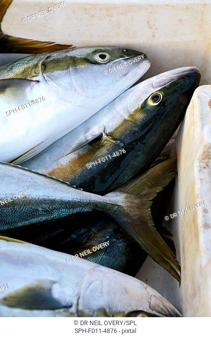 Freshly caught yellowtail (Seriola lalandi) fish