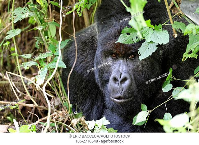 Head portrait of male silverback Mountain gorilla lying on forest ground (Gorilla beringei beringei) Virunga National Park, Democratic Republic of Congo, Africa