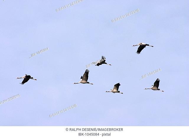 Common Cranes (Grus grus), passage of birds, Lac Du Der, France, Europe