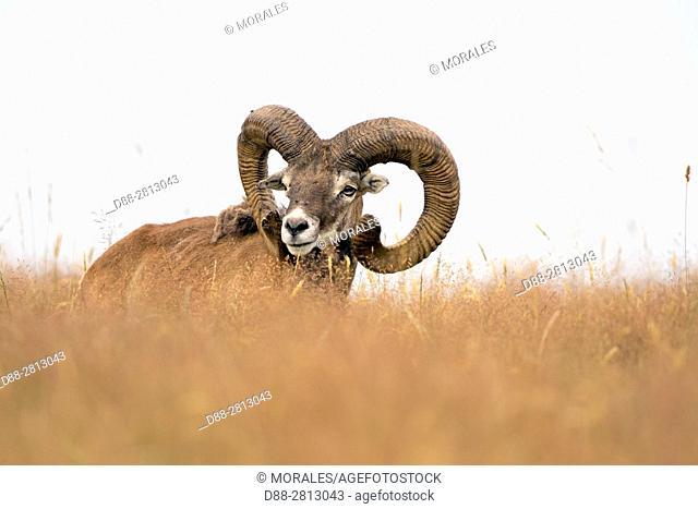 France, Haute Saone, Private park, Mouflon Rams (Ovis ammon musimon), male, adult