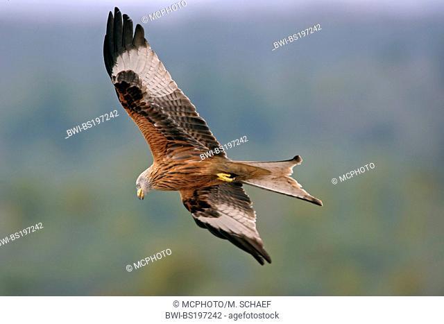 red kite (Milvus milvus), flying, Germany, Hesse