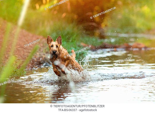 running Irish Terrier