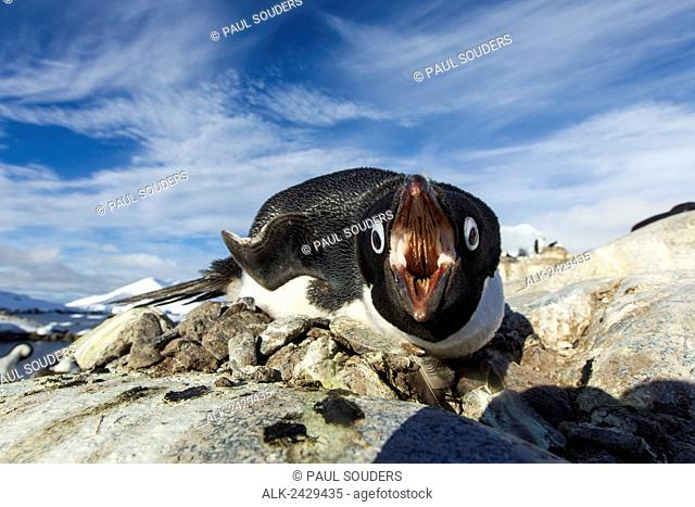 Antarctica, Petermann Island, Adelie Penguin (Pygoscelis adeliae) pecks at camera lens while nesting on rocky outcrop in spring sunshine