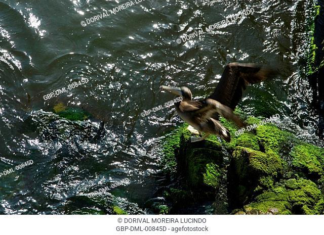 Pelicans, Viña Del Mar, Chile