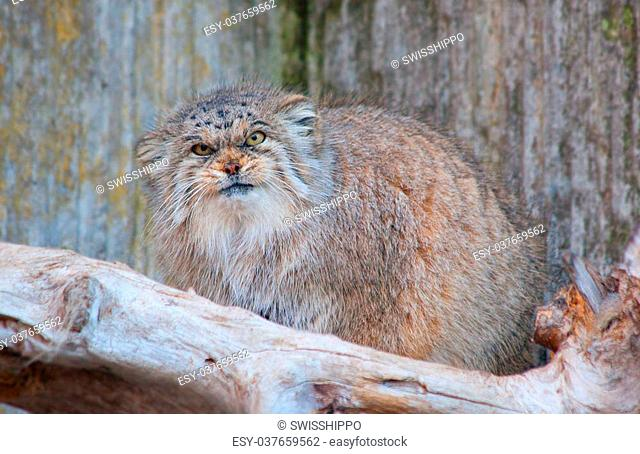 manul (palas's cat) in the zoo