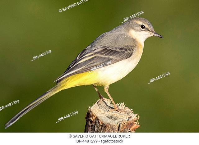 Grey Wagtail (Motacilla cinerea), first winter plumage standing on a post, Campania, Italy