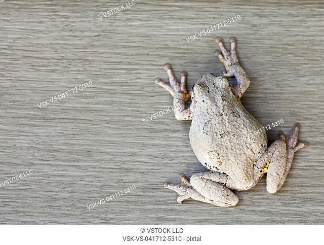 USA, Illinois, Metamora, Gray tree frog