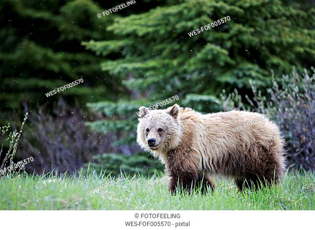 Canada, Alberta, Jasper and Banff National Park, Young Grizzly bear