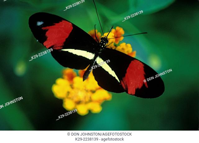 Small postman (Heliconius erato), MacLeod Butterfly Gallery, Greater Sudbury, native to Costa Rica, Ontario, Canada