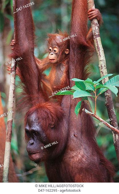 Bornean Orangutan (Pongo pygmaeus) with young on back. Borneo