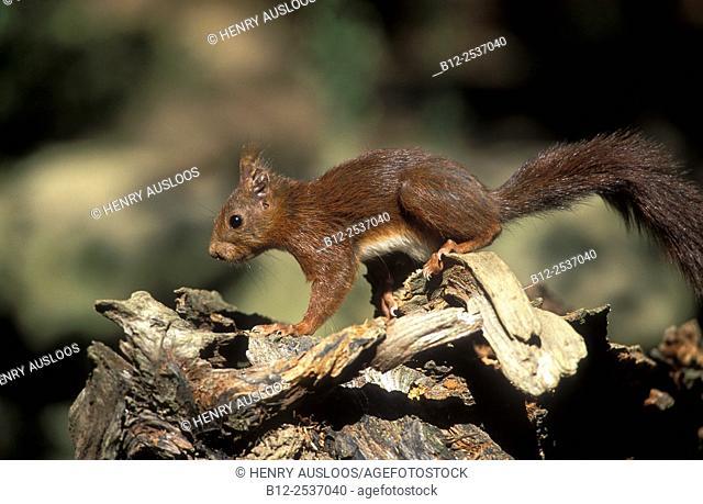 Red squirre - Sciurus vulgaris - France
