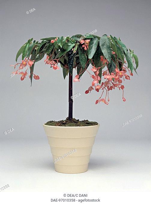 Houseplants - Begoniaceae. Begonia Tamaya