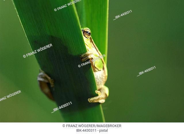 European tree frog (Hylea arborea) looks over green reed, Lake Neusiedl, Burgenland, Austria