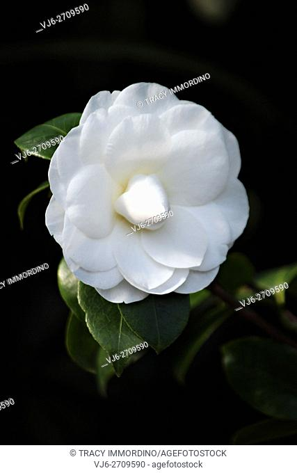 Close up of a single white Nuccio's Gem Camellia in full bloom with a black background