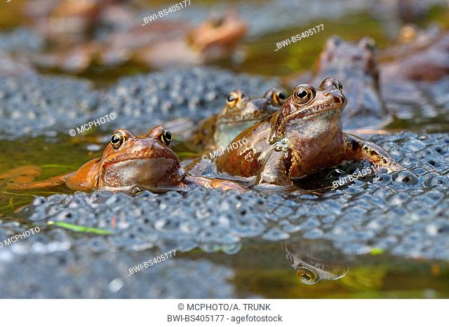 common frog, grass frog (Rana temporaria), sitting in water with eggs, Austria, Burgenland, Neusiedler See National Park