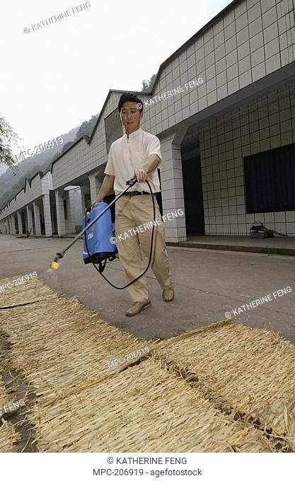 Keeper Gao Qiang sprays disinfectant on straw mats for Giant Panda Ailuropoda melanoleuca Lei Lei's bedroom in preparation for her possible birthing