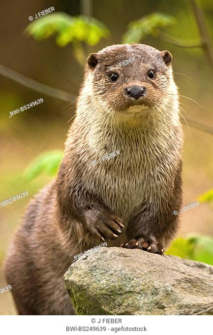 European river otter, European Otter, Eurasian Otter Lutra lutra, sitting erect, Germany, Hesse