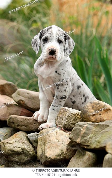 Great Dane Puppy in the countryside