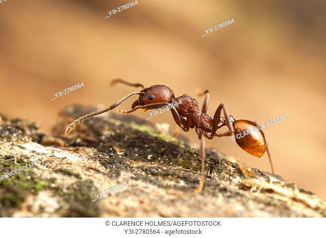 A Spine-waisted Ant (Aphaenogaster tennesseensis) worker forages for food on a fallen dead tree trunk