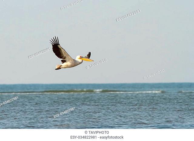 great pelican in flight over sea ( Pelecanus onocrotalus )