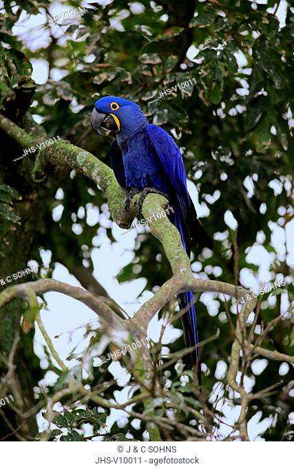Hyacinth Macaw, Blue Macaw, (Anodorhynchus hyacinthinus), adult on tree, Pantanal, Mato Grosso, Brazil, South America