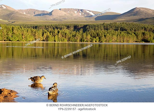Loch Morlich with Mallards and mountains of the Cairngorms National Park, Scotland