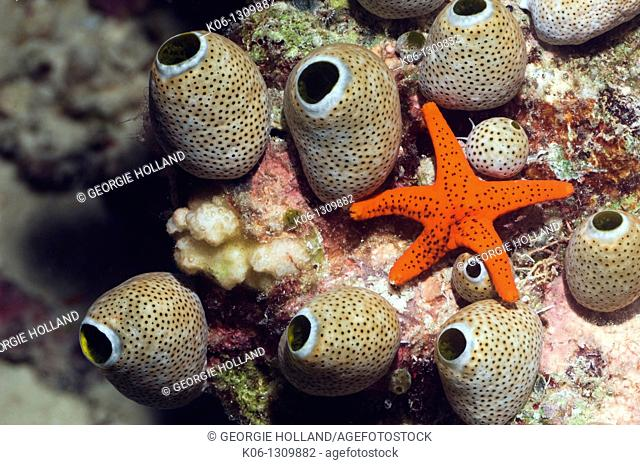Red seastar Fromia milleporella and seasquirts or tunicates Atriolum robustum Misool, Raja Ampat, West Papua, Indonesia