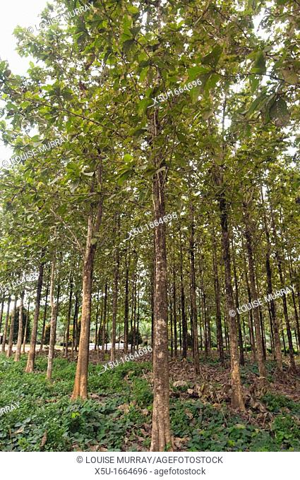 YSG Biotech teak cloning Mixed clones of Solomon Island origin that are issued from YSG Biotech, growing in the plantations of sister company Sabah Softwoods...
