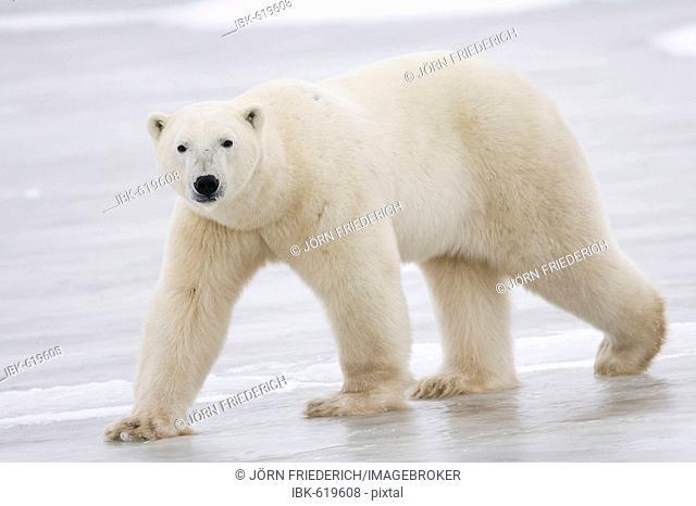 Polar Bear (Ursus maritimus) walking over the ice, Churchill, Manitoba, Canada
