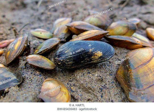 Common river mussel, Common Central European river mussel (Unio crassus), on dried out creek shore together with Common pond mussel, Germany, Bavaria