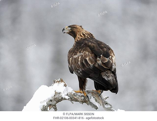 Golden Eagle Aquila chrysaetos adult, beak open, perched on snow covered branch, Norway