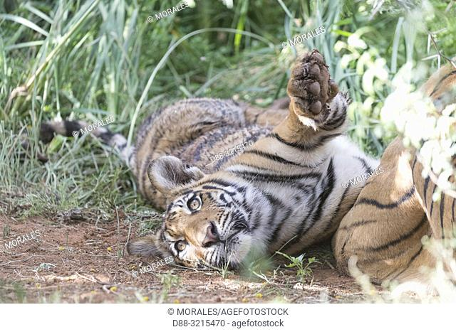 South Africa, Private reserve, Asian (Bengal) Tiger (Panthera tigris tigris), mother with youngs 6 months old, resting