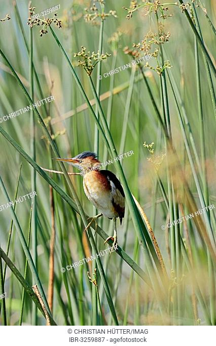 Least Bittern (Ixobrychus exilis), male in the reeds