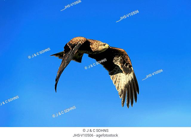 Red Kite, (Milvus milvus), adult flying, Pelm, Kasselburg, Eifel, Germany, Europe