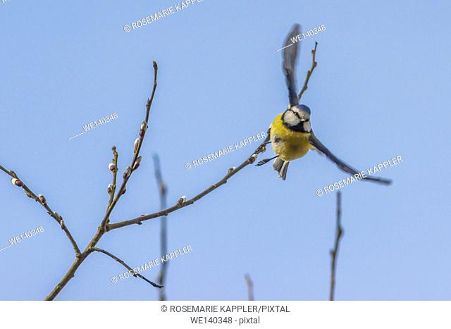 Germany, Saarland, Homburg, A blue tit starts to flight