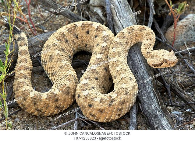 Sidewinder Crotalus cerates - Sonoran desert - Arizona - Small rattlesnake named for its peculiar sideways locomotion