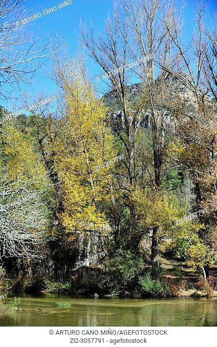 Colorful poplars in autumn at the bank of river Tagus. The Alto Tajo Natural Park. Zaorejas town, Guadalajara province, Spain