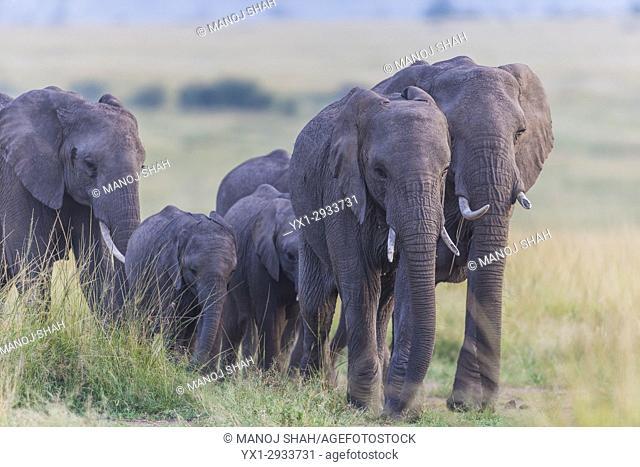 African Elephants walking to the marsh. Masai Mara National Reserve, Kenya