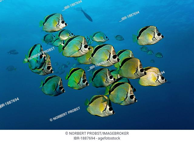 Blacknosed Butterflyfish or Barberfish (Johnrandallia nigrirostris), school, North Seymour Island, Galápagos Islands, Pacific