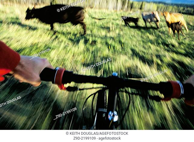 Out of control mountain biker riding through cow field