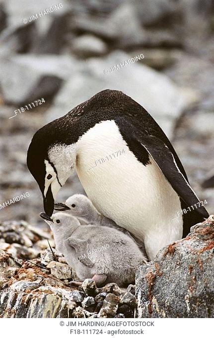 Chinstrap Penguin (Pygoscelis antarctica), adult and chicks. Half Moon Island, South Shetland Islands