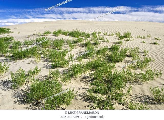 Ripples, sand dunes and vegetation Great Sand Hills Saskatchewan Canada
