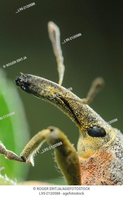 Lixus angustatus male on Malva sylvestris host plant